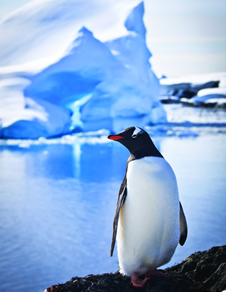 penquin at sea with iceberg in background